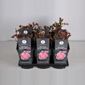 """Grootbloemige roos (rosa """"Queen Elizabeth"""")"""