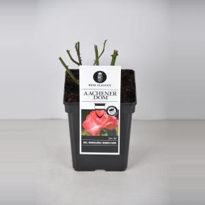 Grootbloemige roos (rosa Aachener Dom®)