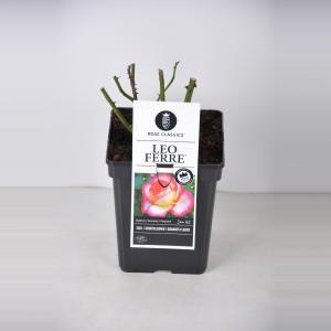 "Grootbloemige roos (rosa ""Leo Ferre""®)"