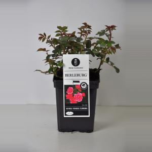 """Trosroos (rosa """"Berleburg""""®)"""