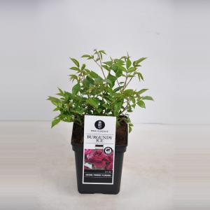 "Trosroos (rosa ""Burgundy Ice""®)"