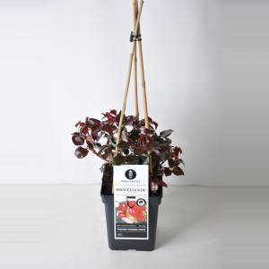 """Grootbloemige klimroos (rosa """"Broceliande""""®)"""