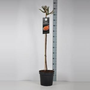"Grootbloemige roos op stam 90 cm (rosa ""Doris Tijsterman"")"