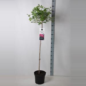 "Treurroos op stam (rosa ""Perennial Blue""®)"