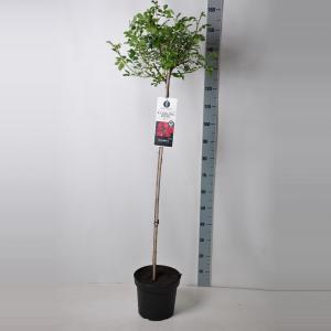 Dagaanbieding - Treurroos op stam (rosa