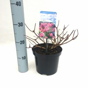 "Hydrangea Paniculata ""Diamond Rouge""® pluimhortensia"