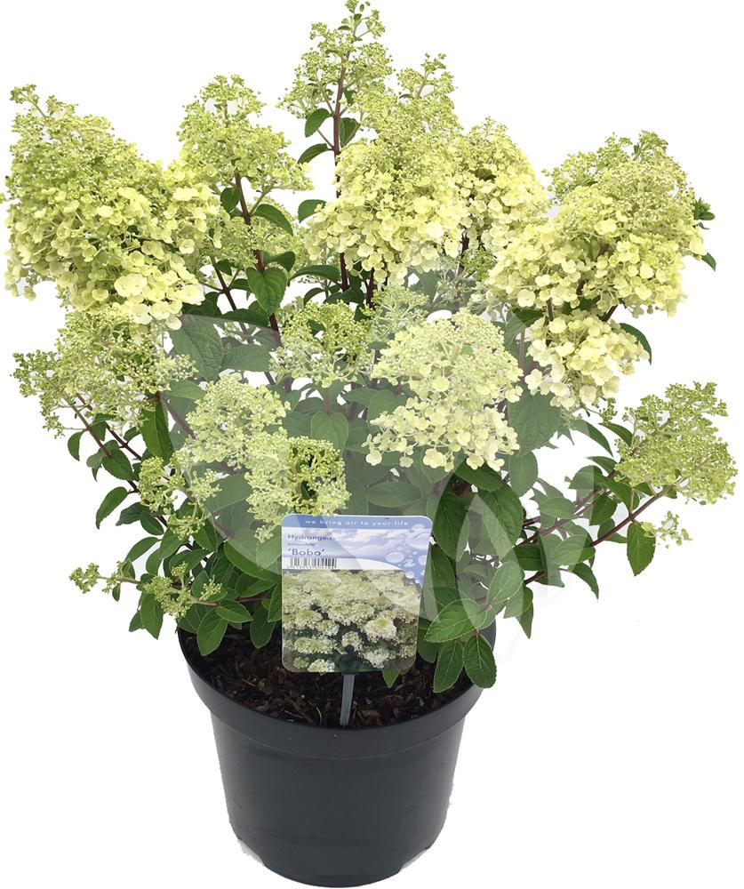 hydrangea paniculata bobo pluimhortensia. Black Bedroom Furniture Sets. Home Design Ideas