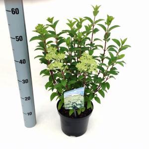 Hydrangea Paniculata Bobo® pluimhortensia - 30-35 cm - 1 stuks