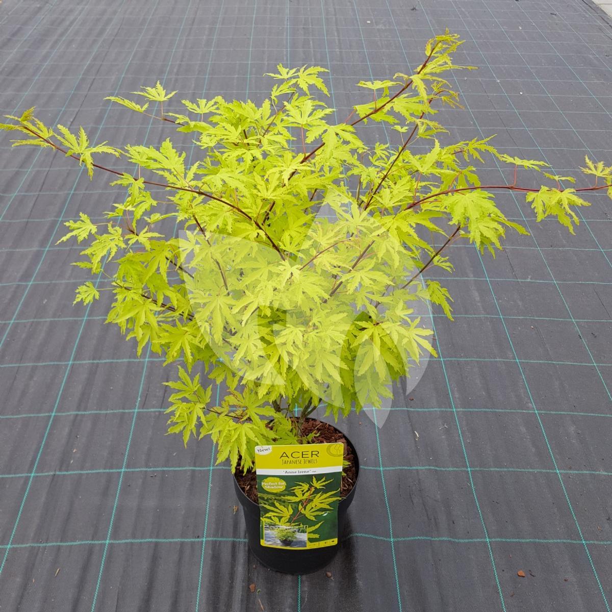 Plantenwinkelnl Japanse Esdoorn Acer Palmatum Anne Irene
