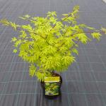 "Japanse esdoorn (Acer Palmatum ""Anne Irene"")"