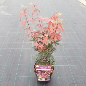 """Japanse esdoorn (Acer palmatum """"Skeeter's Broom"""") heester"""