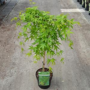 "Japanse esdoorn (Acer palmatum ""Ryusen"") heester"