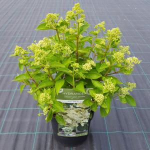 "Hydrangea Paniculata ""Prim White""® pluimhortensia"