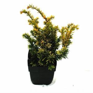 Korting Taxus (Taxus baccata Semperaurea ) conifeer