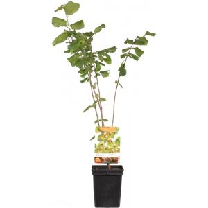 "Hazelaar (corylus avellana ""Halle'sche Riesen"") notenboom"