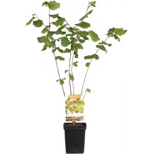 "Hazelaar (corylus avellana ""Webb's Prize Cob"") notenboom"