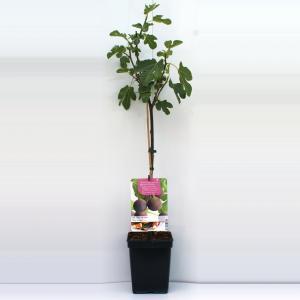 """Vijg op stam (Ficus Carica """"Brown Turkey"""") fruitbomen"""