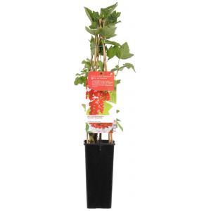"""Rode bes (ribes rubrum """"Jonkheer van Tets"""") fruitplanten"""