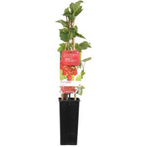 "Rode bes (ribes rubrum ""Rovada"") fruitplanten"