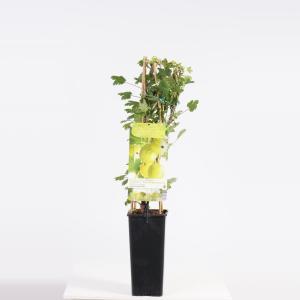 Groene kruisbes (ribes uva crispa Hinnonmäki Grön) fruitplanten - In 2 liter pot - 1 stuks
