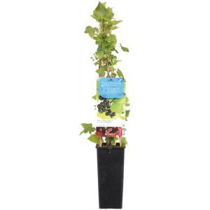 Zwarte bes (ribes nigrum) fruitplanten - In 2 liter pot - 1 stuks
