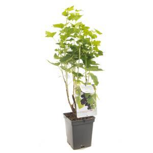 Zwarte bes (ribes nigrum) fruitplanten - In 5 liter pot - 1 stuks