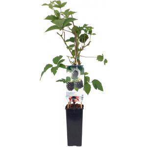 """Braam (rubus fruticosus """"Navaho"""") fruitplanten"""