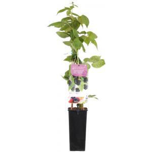 """Braam (rubus fruticosus """"Black Satin"""") fruitplanten"""