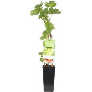 "Witte druif (vitis vinifera ""Phoenix"") fruitplanten"