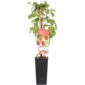 """Herfstframboos (rubus idaeus """"Aroma Queen"""") fruitplanten"""