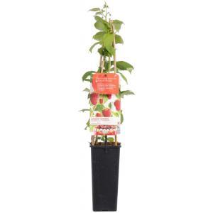"""Herfstframboos (rubus idaeus """"Autumn Bliss"""") fruitplanten"""