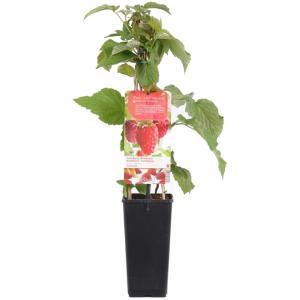 """Zomerframboos (rubus idaeus """"Tulameen"""") fruitplanten"""