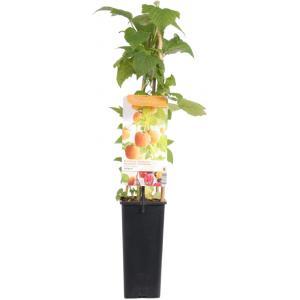 "Herfstframboos (rubus idaeus ""Fallgold"") fruitplanten"