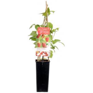 """Zomerframboos (rubus idaeus """"Malling Promise"""") fruitplanten"""