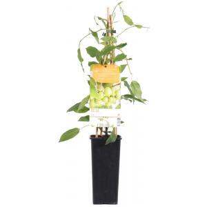 """Kiwibes (Actinidia Arguta """"Issai"""") fruitplanten"""