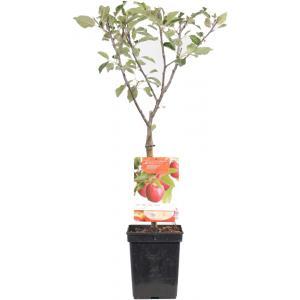 """Appelboom (Malus Domestica """"Cox's Orange"""") fruitbomen"""