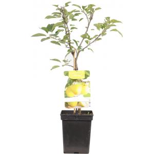 Dagaanbieding - Appelboom Golden Delicious (malus domestica