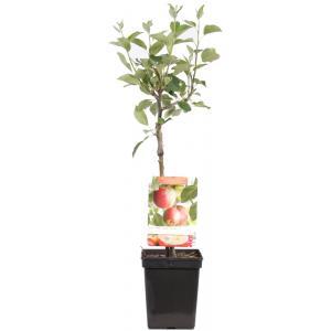 "Appelboom James Grieve (malus domestica ""James Grieve"") fruitbomen"