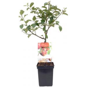 Dagaanbieding - Appelboom Rode Jonagold (malus domestica
