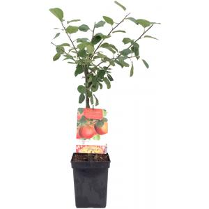 """Appelboom Rode Boskoop (malus domestica """"Rode Boskoop"""") fruitbomen"""