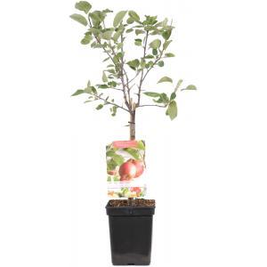"Appelboom (malus domestica ""Summer Red"") fruitbomen"