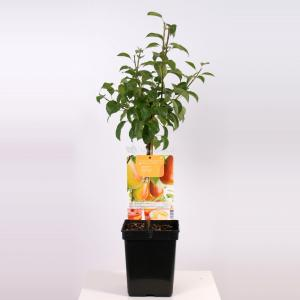 """Perenboom (pyrus communis """"Bonne Louise d'Avranches"""") fruitbomen"""