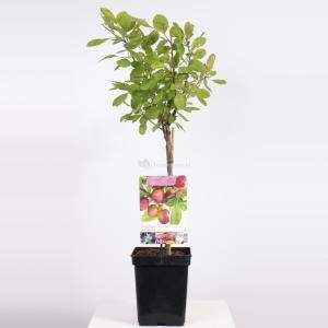"""Pruimenboom (Prunus Domestica """"Opal"""") fruitbomen"""