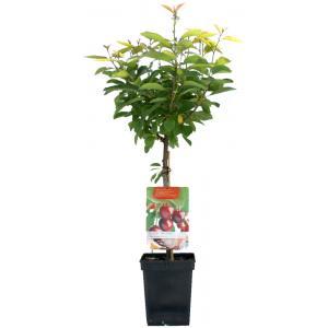 """Kersenboom (prunus avium """"Dubbele Meikers"""") fruitbomen"""