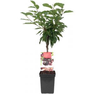 """Kersenboom (prunus avium """"Lapins"""") fruitbomen"""