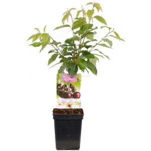 "Kersenboom (prunus avium ""Sunburst"") fruitbomen - In 5 liter pot - 1 stuks"