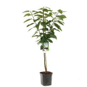 "Kersenboom (prunus avium ""Sunburst"") fruitbomen - In 7 liter pot - 1 stuks"