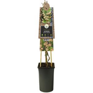"Kiwi (vrouwelijk) (Actinidia deliciosa ""Hayward"") klimplant"
