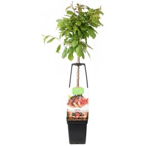 Dagaanbieding - Kersenboom mix fruitbomen dagelijkse aanbiedingen