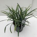 "Zegge (Carex laxiculmis ""Bunny Blue"") siergras"